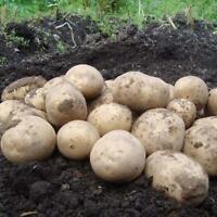 Seed Potatoes Maris Bard New Season First Early1kg