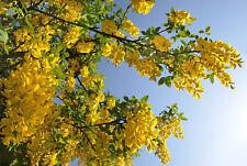50 Samen Goldregen (Laburnum anagyroides / vulgare), Blütenpracht, winterhart