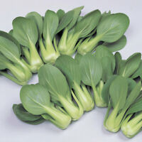 Green Pak/Bok Choi/Choy by Gardenlady 50 Plus Seeds