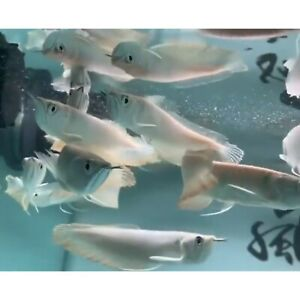 """LIVE TROPICAL Fish- Imported Silver Arowana 6""""-8"""" Inches. ONLY SHIPPING CALIFO.."""