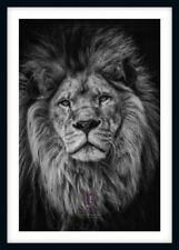BLACK & WHITE MAJESTIC LION LARGE PHOTO PRINT ONLY OR FRAMED