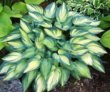 Hosta June Plant Buy Any 5 Hostas And Get 1 Free My Choice Shipping Spring 17