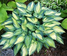Hosta June Plant Buy Any 5 Hostas And Get 1 Free My Choice Spring Ship