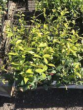 50+ Live Plants Star Jasmine Trachelospermum Jasminoides - Highly fragrant