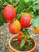 20 pcs/bag red lemon tree also is Blood Orange Organic fruit bonsai trred lime s