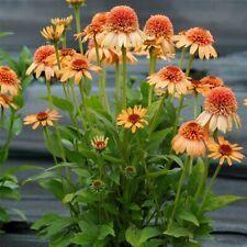 Winterfester Sonnenhut Echinacea PowWow Wild Berry Nekrat Staude Beet Balkon