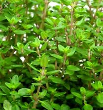 500 WINTER THYME Herb Seeds-Non GMO-Open Pollinated-Organic.