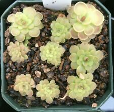 Pinguicula Hanka - Carnivorous Mexican Butterwort Plant - Easy Grower!