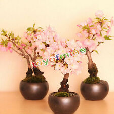 Bonsai Tree Japanese New Cherry Bonsai Blossoms Sakura seeds Flower Seeds 20Pcs