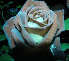 Rose Seeds - CHOCOLATE MINT - RARE VARIETY ROSE - Winter Hardy -10 Seeds