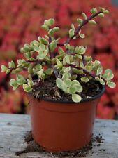 Pianta di Portulaca Afra Succulente Piante grasse succulenti vaso 10 grassa