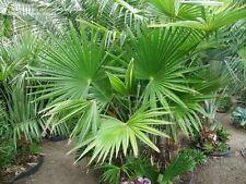 15 Trachycarpus latisectus,  Windermere Palm Seeds,