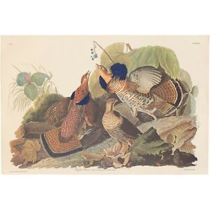 Audubon Amsterdam Ed. Double Elephant Folio 1971 lithograph Pl 41 Ruffed Grouse