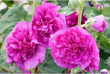 Alcea rosea Chaters Violet 10 seeds