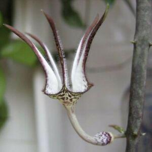 Ceropegia stapeliiformis, bewurzelter Ableger, Leuchterblume, Zimmerpflanze