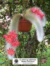 Cola de Mono Cactus (C. winteri ssp. colademono/Hildewintera) - 25 semillas.