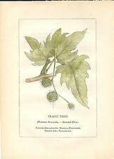 Stampa antica PIANTE DELLA BIBBIA PLATANO ORIENTALE 1842 Old antique print