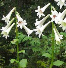 Riesen-Himalayalilie @ Cardiocrinum giganteum @ Lilie @ winterhart @ 30 Samen