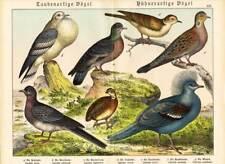 Antique Print-WOOD PIGEON-TURTLE DOVE-PARTRIDGE-CROWNED PIGEON-Schubert-1878