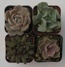 """New listing 4 Rosette Succulent Collection 4 Rooted Specimens In 2"""" Pots And Soil"""