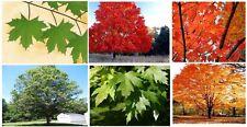 Maple Tree 25 Seeds