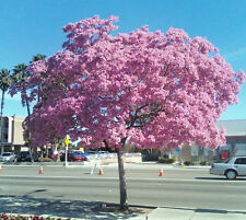 Tabebuia heterophylla, pink trumpet tree exotic flowering white cedar 50 seeds
