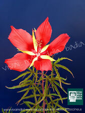 HIBISCUS COCCINEUS fiore ROSSO V18  RED flowers Scarlet Rose Mallow