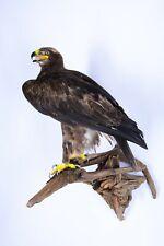 Taxidermy Imperial eagle Stuffed Bird Handmade Animal Aquila heliaca