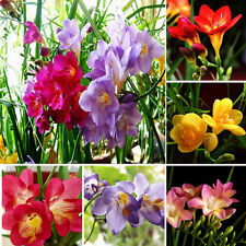 100Pcs Freesia Bulbs Perfume Flower Seeds Plant Perennial  Home Garden Decor