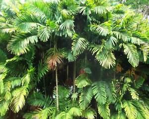 Ptychosperma macarthurii Seed Palm Tree Live Tropical Rare
