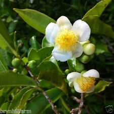 Grow Your Own Tea: 6 CAMELLIA SINENSIS Tea Plants From QLD Tea Plantation