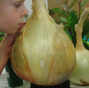 NEW 50 SEEDS Giant Onion seed AILSA CRAIG Scottish heirloom huge onion vegetable