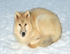METAL MAGNET White Arctic Wolf In Snow Germany Travel Wolves MAGNET