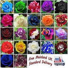 50x Rose Flower Seeds Garden Plant, Black, Blue, Rainbow, Pink Buy 2 Get 1 Free