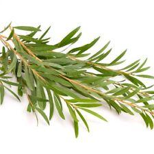 Tea Tree  (Melaleuca alternifolia)  200 seeds