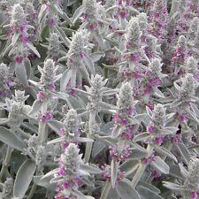 Flower - Stachys lanata - Fuzzy Wuzzy - 50 Seeds