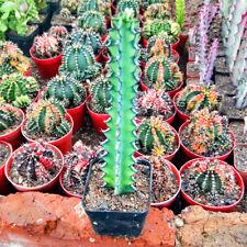 Euphorbiaceae Succulent plants potted Home Garden Bonsai cactus Plants