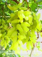 Golden Finger Green Sweet Grape Organic Bonsai 50 Pcs Seeds Plants Fruit NEW T P