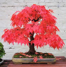 Rare Bonsai Japanese Red Maple Acer palmatum 10 Seeds Deciduous Tree Seeds