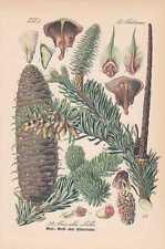 Abies alba Weiß-Tanne THOME Lithographie von 1886 Silbertanne Edeltanne