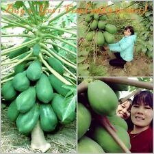 50+Fruit-seeds-Dwarf-honey-Papaya-Tree-Plant-Container-Bonsai-garden