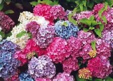 6 X HYDRANGEA PLUG PLANT'S MIXED FLOWERS, HARDY GARDEN SHRUB'S, MOPHEAD LACECAP