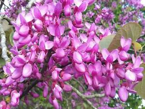 CERCIS SILIQUASTRUM JUDAS TREE BEAUTIFUL GARDEN CONTAINER TREE POLLINATORS