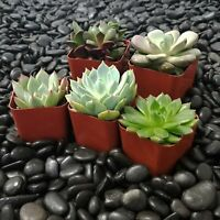 (5 Pack) - Indoor Succulent Plants Fully Rooted in Planter Pots with Soil