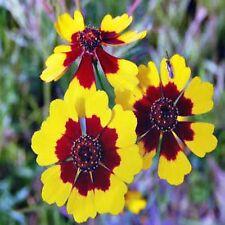 COREOPSIS DWARF RADIATA SEEDS HARDY FLOWERING DROUGHT TOLERANT