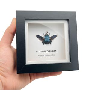 The Blue Carpenter Bee Deep Shadow Box Frame (Xylocopa caerulea) Display Insect