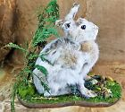 BR25 Taxidermy Snowshoe Bunny Rabbit Carrot Patch Display Collectible Curiosity