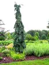 Bruns Pendula Weeping Serbian Spruce 1 Year Live Plant