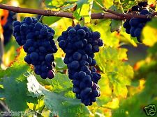 Rare Bangalore Blue Grapes 15 Seeds, Best Growing Indian Variety|| Free Shipping