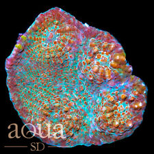 New listing Asd - 001 Hot Salsa Chalice - Wysiwyg - Aqua Sd Live Coral Frag